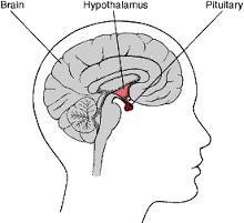 Brain Pituitary Gland Diagram
